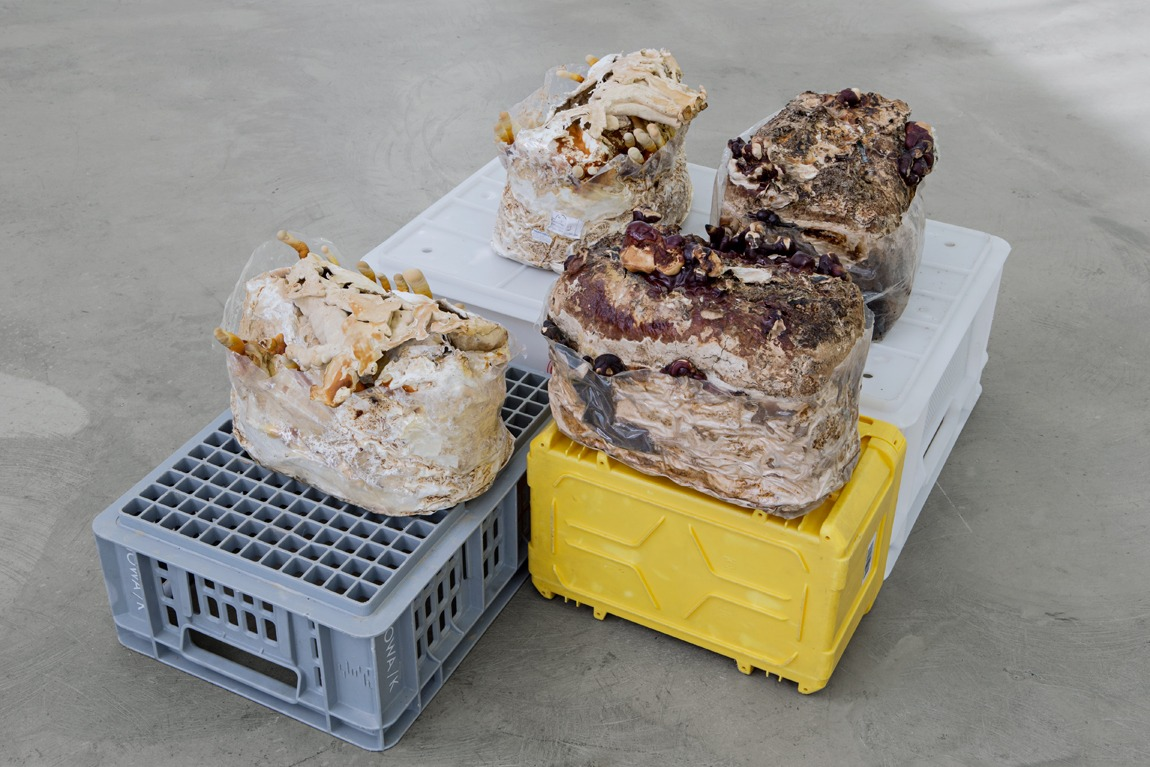 &laquo;Unfinished business (Ling Zhi) I&ndash;IV&raquo;, 2016, Chinese anti-aging mushroom spawn for immortality, found plastic crates